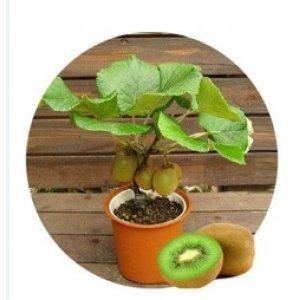 猕猴桃果树苗盆栽/地栽猕猴桃树苗/新西兰猕猴桃苗