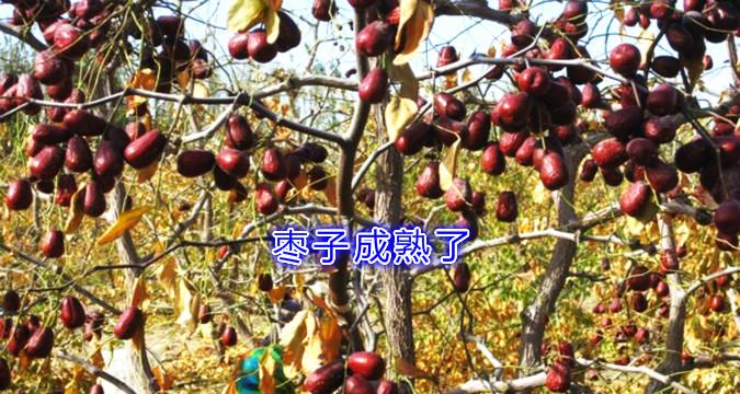 枣树2_.jpg