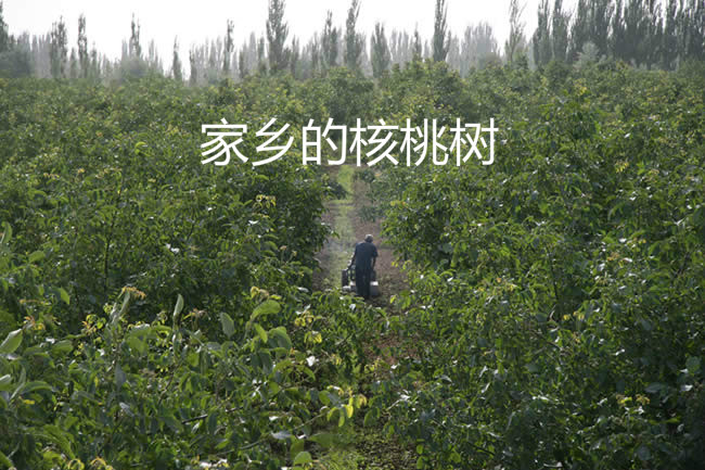 核桃树_.jpg