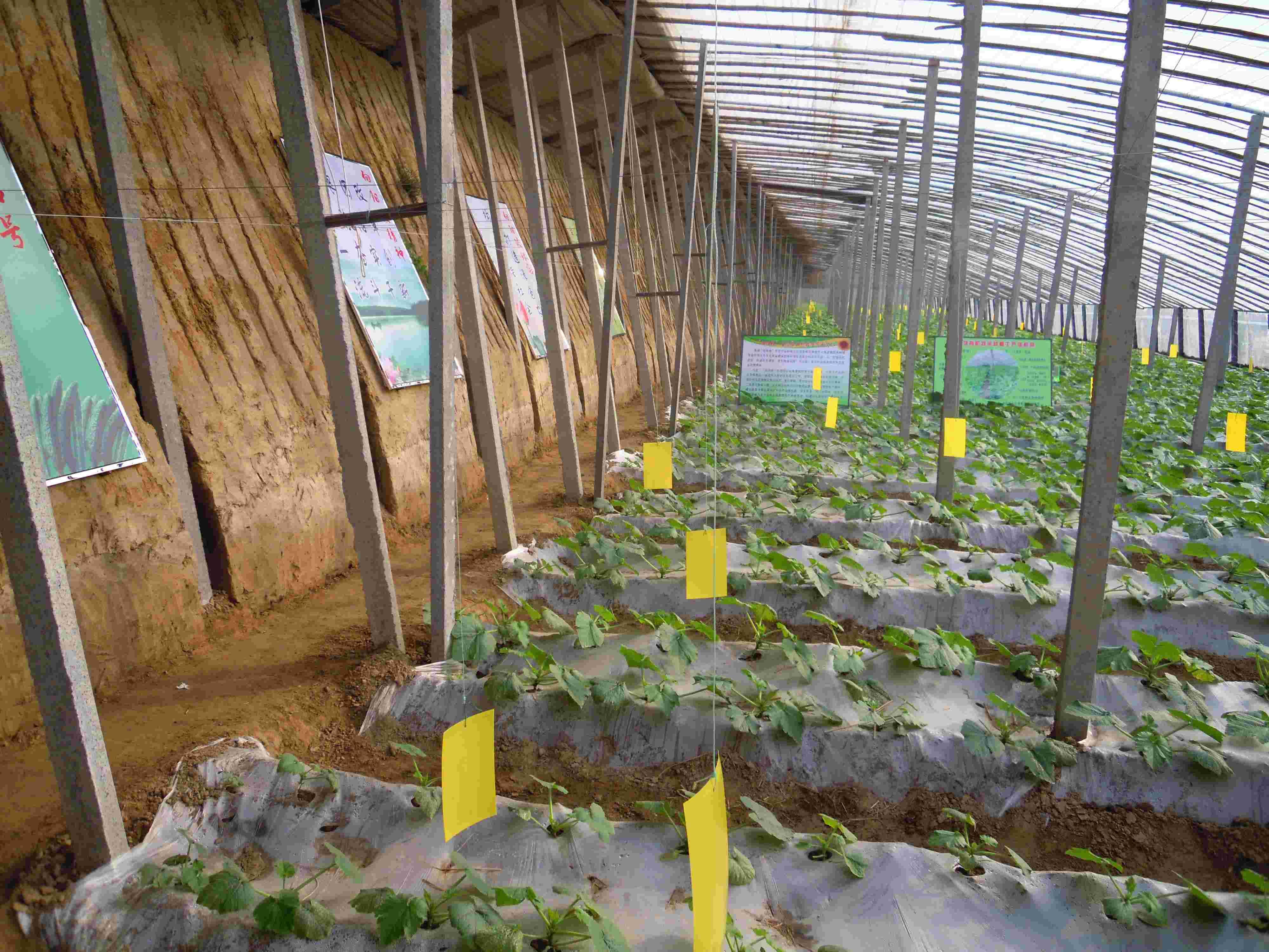 农场简介:山东(禹城)向阳坡生态农业科技示范园,是集蔬菜生产、加工、销售、新品种引进、技术培训与咨询服务为一体的高标准生态农业科技示范园区。以打造现代农业,提升蔬菜品质为宗旨,依托禹城市大禹龙腾蔬菜种植专业合作社开发建设,拥有投资2800万元、占地1200亩的自营农场有机蔬菜生产基地,属国家有机农业生产体系重要组成部分和科研开发孵化器。 山东(禹城)向阳坡生态农业科技示范园拥有高标准日光温室大棚、拱棚、现代化育苗厂、蔬菜品质检验室等科研生产设施。示范园区区位优越南融省会济南经济圈,北接环渤海蓝色开发