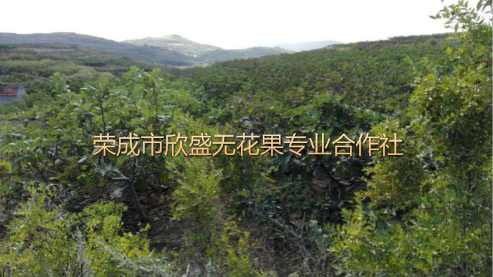 无花果7_.jpg