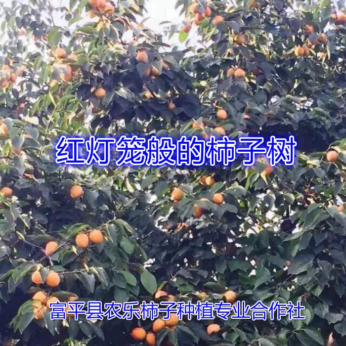 柿子图1.jpg